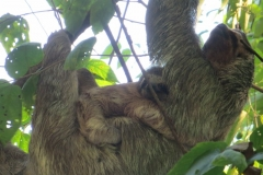 Mama and Baby Sloth on the Welcoming Tour